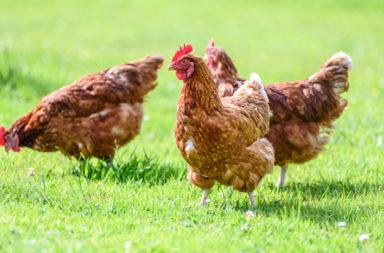 إنفلونزا الطيور: كل ما عليك معرفته عنها - الإنفلونزا الطيرية: الأعراض والتشخيص وسبل الوقاية والعلاج - أعراض الإصابة بإنفلونزا الطيور