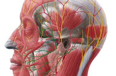 العصب السابع من الأعصاب القحفية الاثني عشر - العصب القحفي الذي ينظم العضلات التعبيرية المسؤولة عن حركات الوجه - تشريح وموقع ووظائف العصب الوجهي