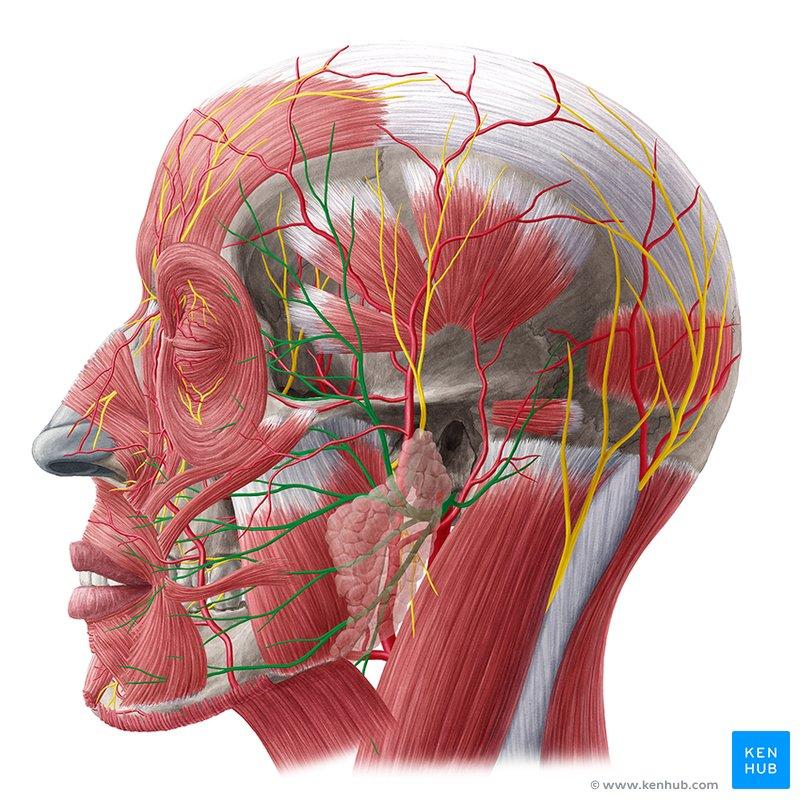 الأعصاب القحفية: العصب الوجهي