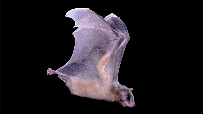 دراسة لأدمغة الخفافيش تكشف كيف تستخدم الحيوانات خلايا المكان نظامًا للملاحة