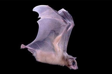دراسة لأدمغة الخفافيش تكشف كيف تستخدم الحيوانات خلايا المكان نظامًا للملاحة - نشاط أحد أنواع الخلايا لبعصبية لدى الخفافيش