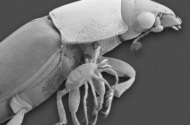 هذا الحيوان الصغير وجد طريقة للتخلي عن التزاوج منذ ملايين السنين - استطاعت القراديات الخنفسية (Oppiella nova) التملص من الممارسة الجنسية