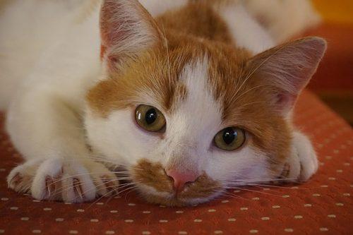 حمى خدش القطة: الأسباب والأعراض والتشخيص والعلاج - مرض تنقله جرثومة ببارتونيلا هنسيلي - جرثومة تعيش في القطط وتنتقل للبشر عند العض