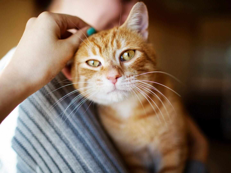 حمى خدش القطة: الأسباب والأعراض والتشخيص والعلاج