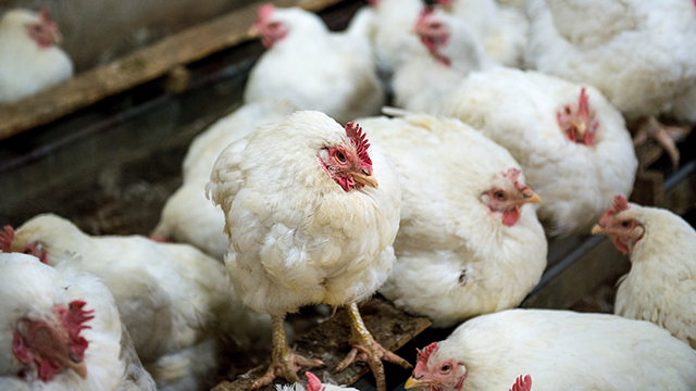 فيروس جديد يجتاح الصين: إنفلونزا الطيور H5N1، أعراضه وعلاجه والوقاية منه؟