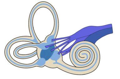 الأعصاب القحفية: العصب الدهليزي القوقعي - القناة السمعية الداخلية - العصب المسؤول عن التوازن والسمع - اضطرابات العصب الدهليزي القوقعي