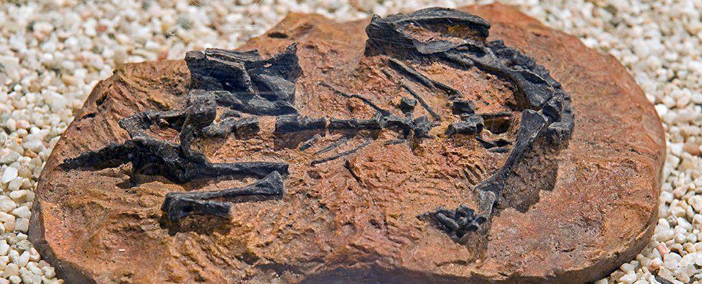يعتقد العلماء أن هذا الديناصور (موسوروس باتاجونيكس) زحف قبل أن يمشي!