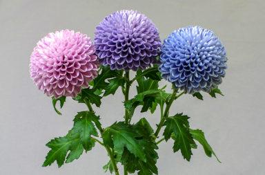 الزهور في جميع أنحاء العالم تغير لونها بسبب تغير المناخ - مواجهة التغير المناخي والتبدلات البيئية الحاصلة - الأصبغة الماصة للأشعة فوق البنفسجية