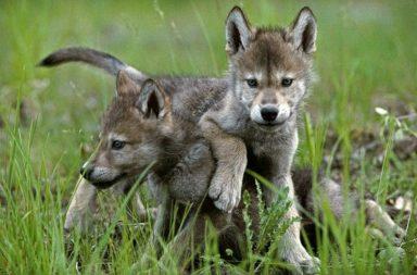 جراء الذئاب أيضا قد تستجيب وتحضر الأشياء عند رميها - قدرات الكلاب الطبيعية - فهم علامات التواصل الاجتماعي البشرية - الركض نحو الطابة