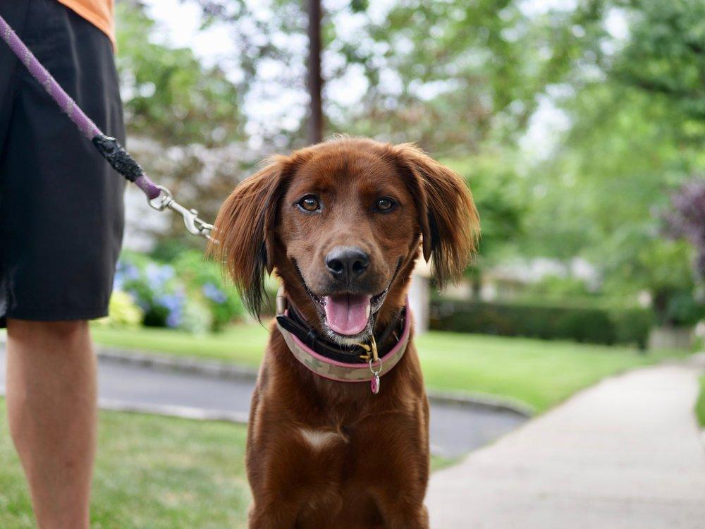 ما الطريقة الصحيحة للخروج والتنزه مع كلبك؟