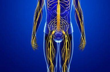 شبكة معقدة من الخلايا العصبية التي تتحكم في الحالة الداخلية للجسم تدعى الجهاز العصبي الذاتي: ما أقسامه ووظائفه؟ الاضطرابات الذاتية وأسبابها