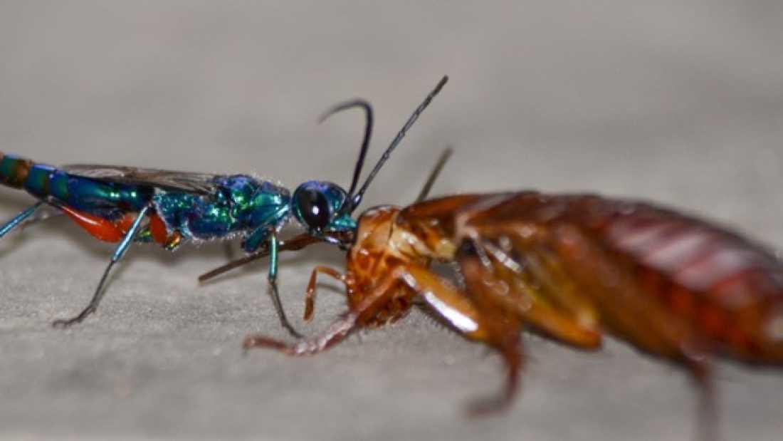 دبور طفيلي يحول الصراصير إلى عبيد