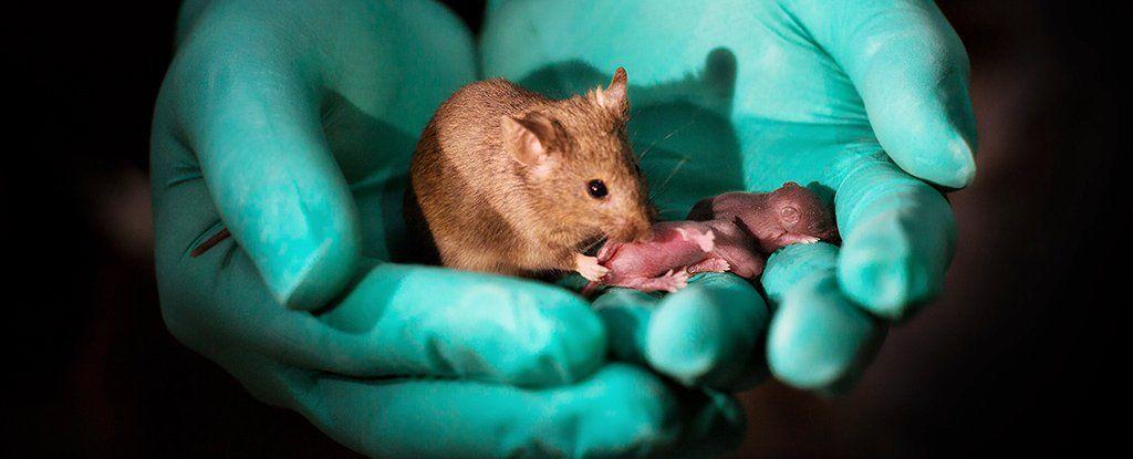 انجاز علمي هائل: تجارب في الصين لإنتاج فئران من أنثيين دون ذكور، كيف تم ذلك؟