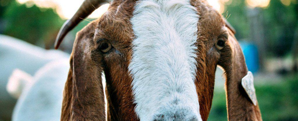 وفقًا للعلم، الماعز ذكيةٌ ومُحِبّة كالكلاب!