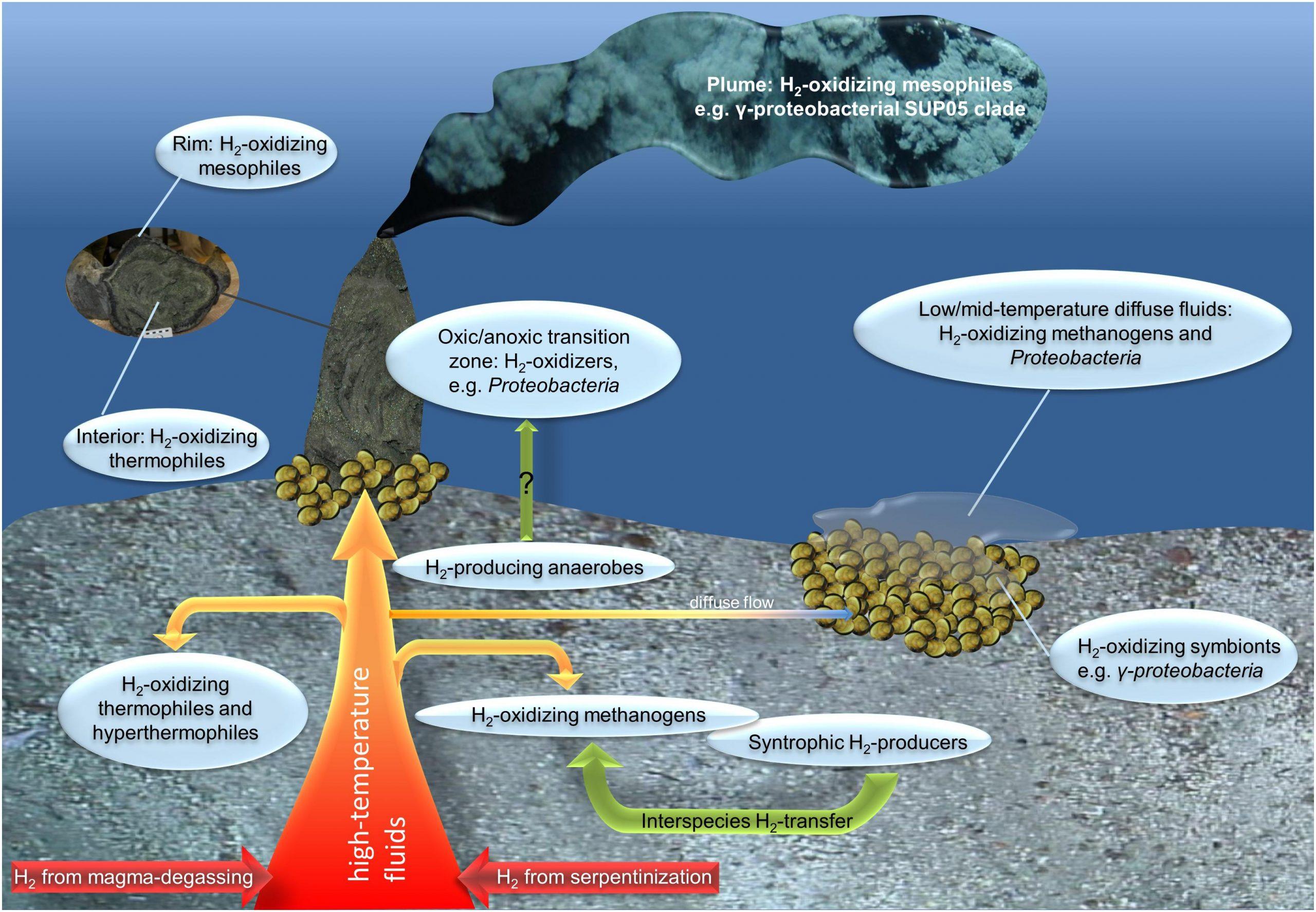 اكتشاف نمط جديد من التمثيل الغذائي للبكتيريا في أعماق المحيط - أسيتو باكتيريوم وودي - جراثيم تعيش في أمعاء النمل الأبيض - البكتيريا المولدة للأسيتات