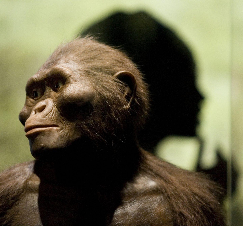 اكتشاف جديد لأحفورة قرد يمكن أن تفسر كيف بدأ البشر الأوائل المشي على قدمين