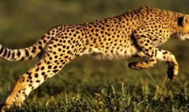 سبب سرعة الفهد