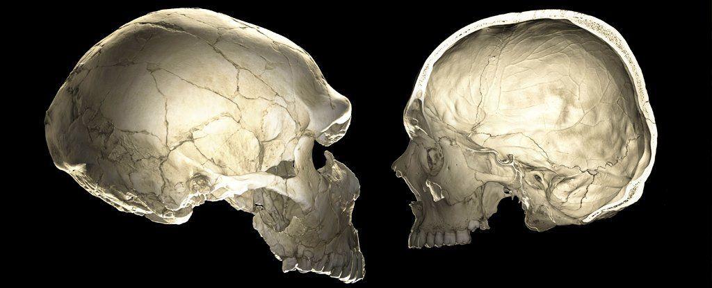 كيف يمكن لجينات النياندرتال أن تؤثر على شكل دماغك؟
