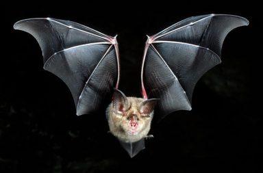 اكتشاف ست سلالات جديدة من فيروس كورونا في الخفافيش - ست سلالات غير معروفة سابقًا من فيروس كورونا في الخفافيش في دولة ميانمار