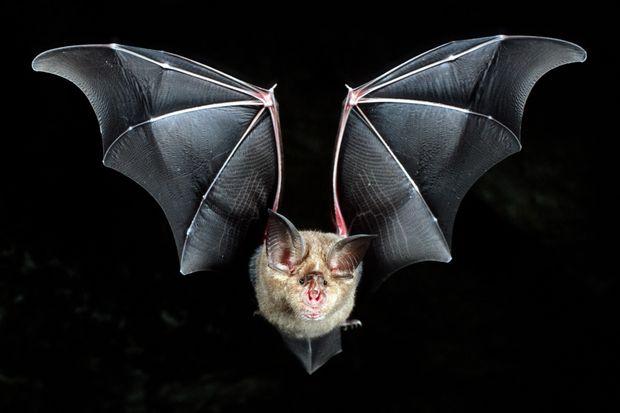 اكتشاف ست سلالات جديدة من فيروس كورونا في الخفافيش