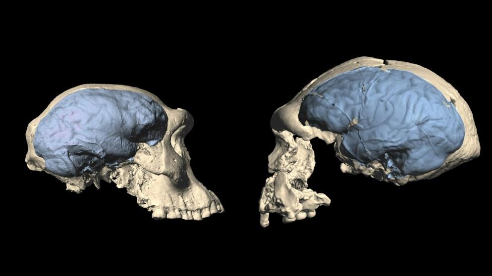 استطاع البشر الأوائل المشي على قدمين على الرغم من أدمغتهم البدائية - كيف استطاع الإنسان القديم المشي على قدمية على الرغم من دماغه البدائي