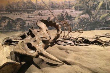 تشخيص سرطان العظام لأول مرة عند ديناصور - أول حالة لسرطان عظام خبيث لدى ديناصور - النصف العلوي من عظم الساق أو الشظية - الساركوما العظمية