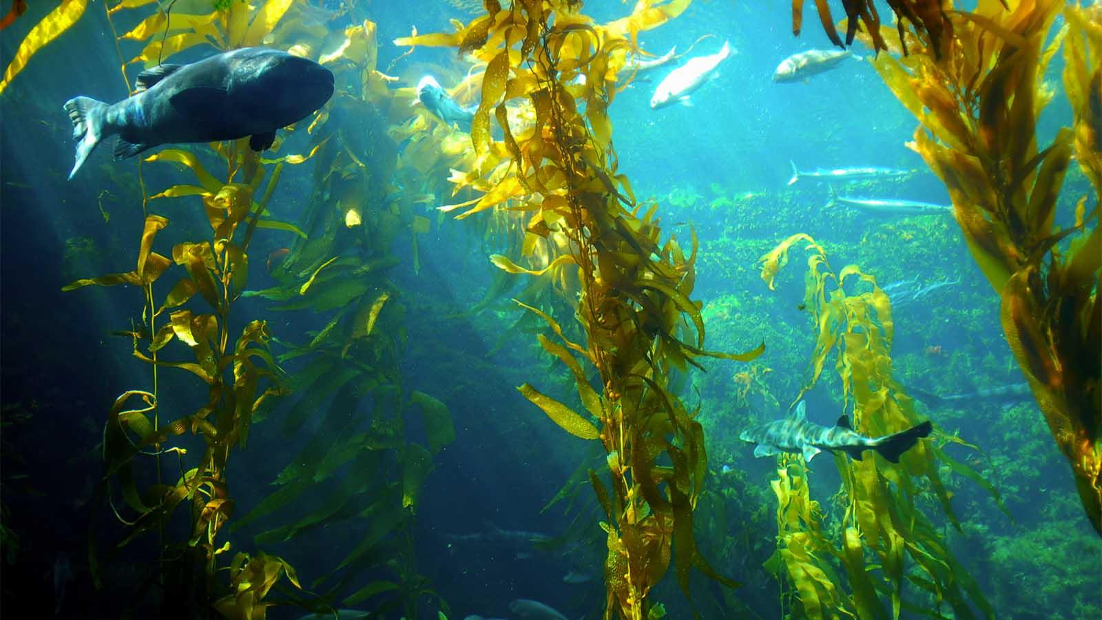 هل يمكن أن يكون عشب البحر العملاق المصدر التالي للوقود الحيوي؟ - استخلاص الوقود الحيوي من الأعشاب البحرية - مصادر جديدة للوقود