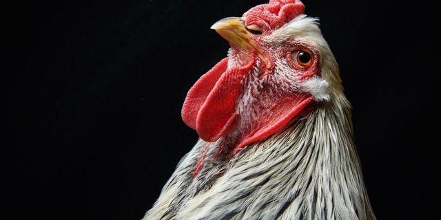 دراسة جينية تقول إن أول دجاجة مشت على سطح الأرض ظهرت في جنوب شرق آسيا - أكبر مصدر بروتين حيواني للبشر - السلف الرئيسي للدجاج - تطور الدجاج
