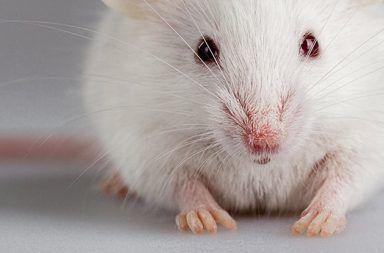تجديد الأطراف أصباع الفئران الخلايا
