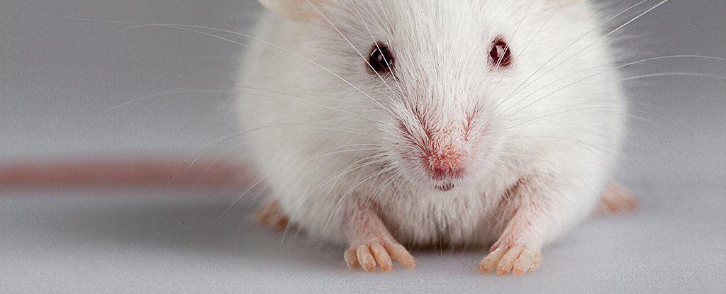 علماء يتمكنون جزئيًا من تجديد أصابع مبتورة من أقدام فئران بإضافة بروتينين فقط