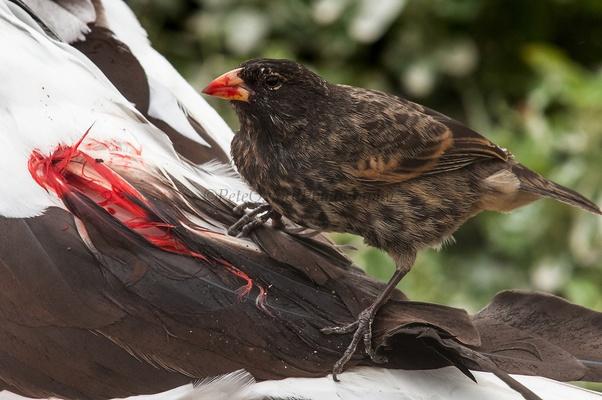 لماذا تطورت بعض عصافير داروين إلى عصافير مصاصة للدماء - نوع من العصافير الذي يتغذى على دماء الطيور الأكبر منه حجمًا - طيور الأطيش