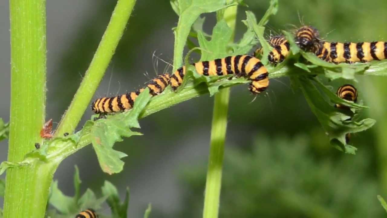 يمكن للنباتات الدفاع عن نفسها عن طريق جعل اليرقات آكلةً للحوم أبناء فصيلتها