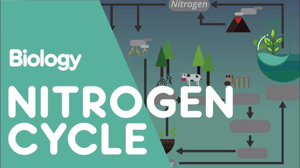 دورة النيتروجين: شرح تفصيلي بالصور