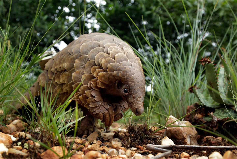 حيوان البنغول قد يكون لعب دورًا رئيسيًّا في انتشار فيروس كورونا