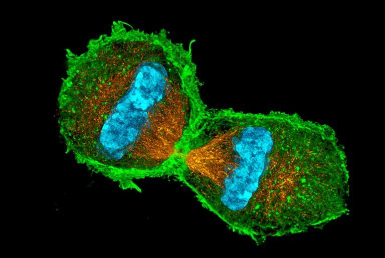 الخلية الأم هي ما يقرر انقسام الخلايا أو عدمه