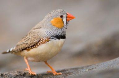 لسنا النوع الوحيد الذي طور اضطرابات النطق، إذ تكشف دراسة جديدة ظاهرة التلعثم في بعض أنواع الطيور - تغريد العصافير واللغة البشرية
