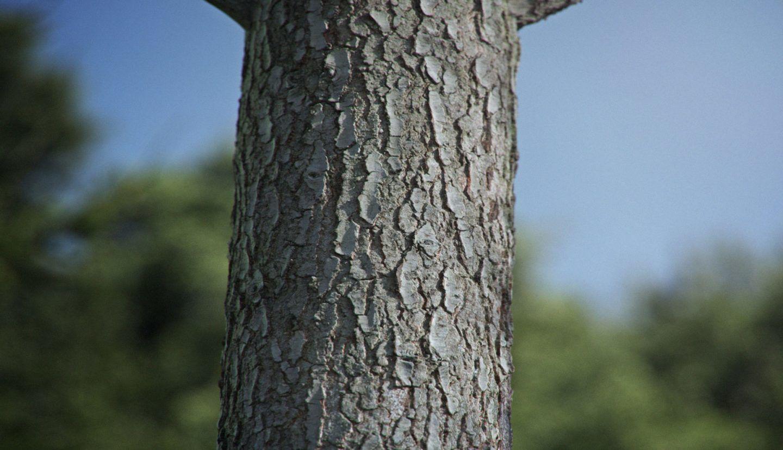 لحاء الشجرة يوّلد قوةً غريبة تتحدّى الجاذبية!