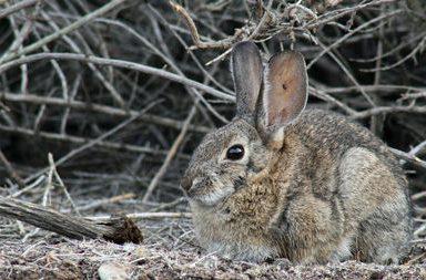 فيروس قاتل ينتشر بين الأرانب في الولايات المتحدة الأمريكية - تفشي فيروس كورونا المستجد - فيروس داء الأرانب النزفي RHDV2 - فيروس شديد العدوى