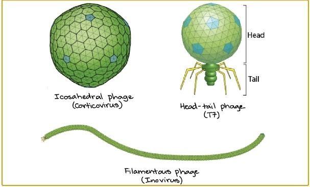 العاثيات: الفيروسات الآكلة للجراثيم - تسمى الفيروسات التي تصيب البكتيريا بالعاثيات أو آكلات الجراثيم - العاثيات فيروسات تصيب البكتيريا