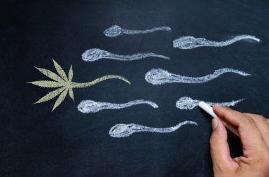 تأثير تدخين الماريجوانا على الحيوانات المنوية تأثير الماريجوانا على وظيفة الخصية عند الرجال تدخين الحشيش والمني الحشيش والقدرة الجنسية
