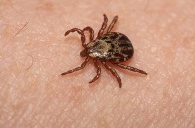 الأمراض المنقولة بالقراد: الأعراض والتشخيص والعلاج - الحشرات الماصة للدماء - حشرة تتثبت رقوة في الجلد وتمتص الدماء - هل ينقل القراد الأمراض