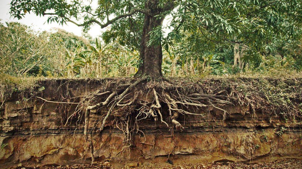 كيف تنقل الأشجار الكبيرة الماء من جذورها إلى الأوراق ؟ - الأوعية الخشبية