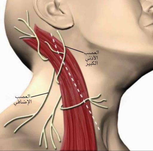 العصب المسؤول عن على توفير وظائف حركية للعضلة القصية الترقوية الحلمية والعضلة شبه المنحرفة في الرقبة والكتف - العصب الإضافي