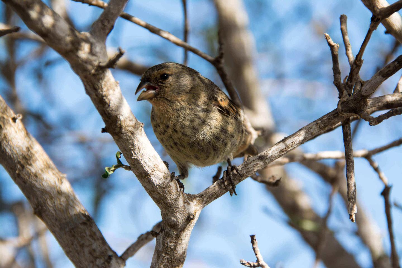 لماذا تطورت بعض عصافير داروين إلى عصافير مصاصة للدماء؟