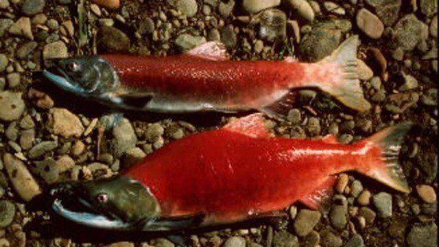 سلسلة التطور أمام أعيننا (الحلقة الأولى - سمك السلمون الأحمر وسمك أبو شوكة)